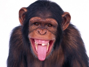 chimpanzee_sticking_out_tongue-t2